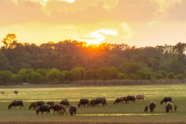 Thaise moerasbuffels in turfmoeras rond lagune met zonsondergangachtergrond