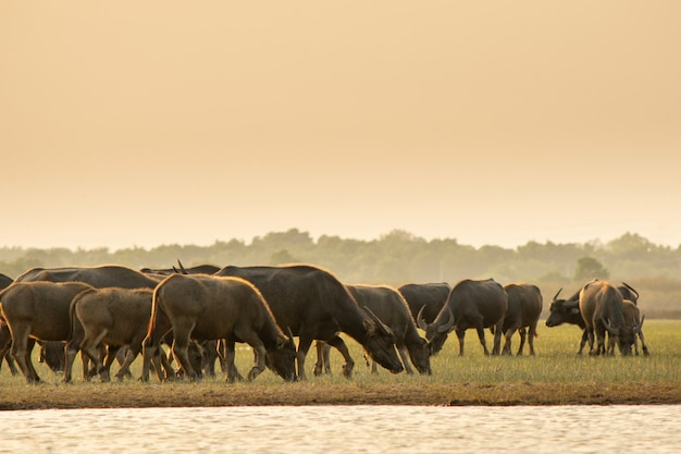 Thaise moerasbuffels in turfmoeras rond lagune