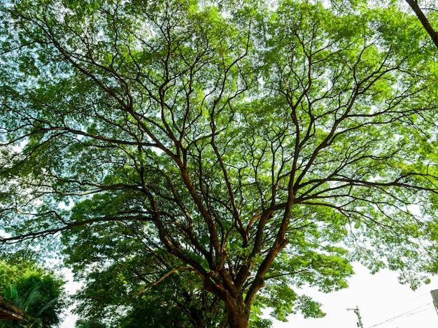 Thaise naam chamchuri boom of monkey pod tree met groene bladeren