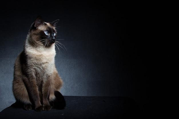 Thaise siamese kat op een zwarte achtergrond in de studio