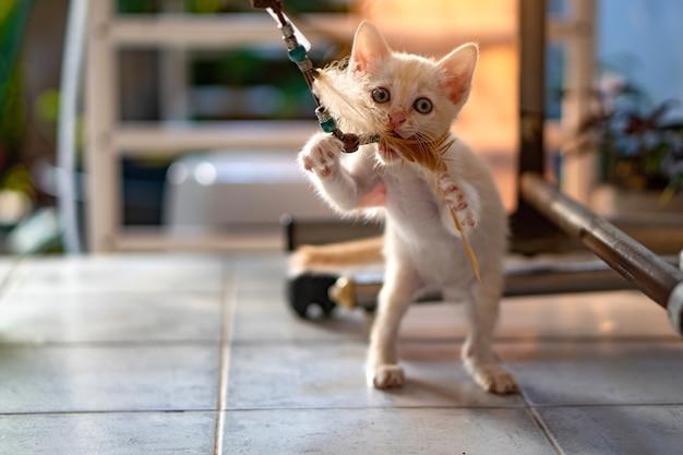 Thaise witte kittens van 1 maand oud spelen kattenspeelgoed voor binnen met middagzonlicht.