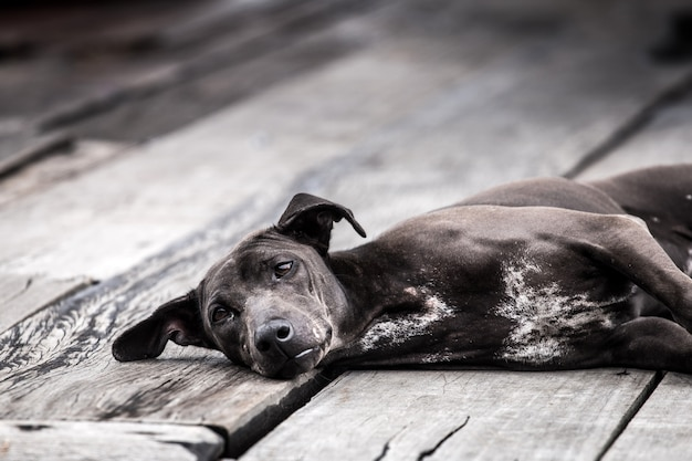 Thaise zwarte hond op houten vloer