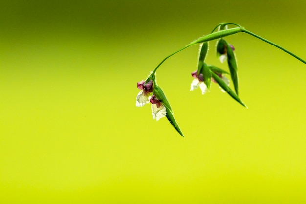 Thalia dealbata bloem