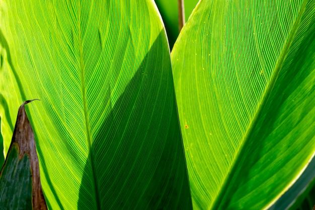 Thalia dealbata leaf