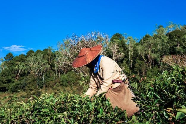 Thee landbouwer thee plukken bladeren.