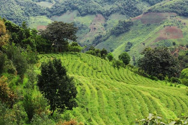 Theeaanplanting in zonsopgang op de berg en het bos in regenseizoen