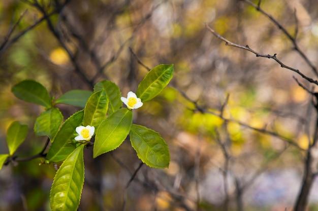 Theeblad en witte bloem in theeplantage. bloem van thee op stam. mooie en frisse witte theebloem op een tak in china