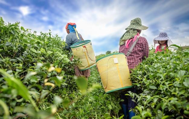 Theekieper het plukken theeblad op aanplanting, chiang rai, thailand