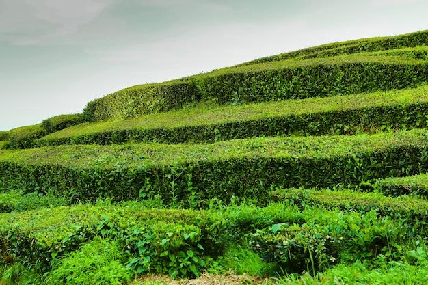 Theeplantage cha goreana theeplantage op het eiland sao miguel portugal