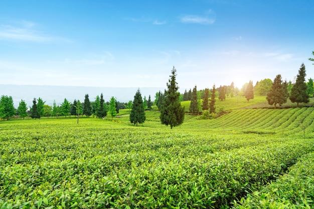 Theeplantage op de top van de berg