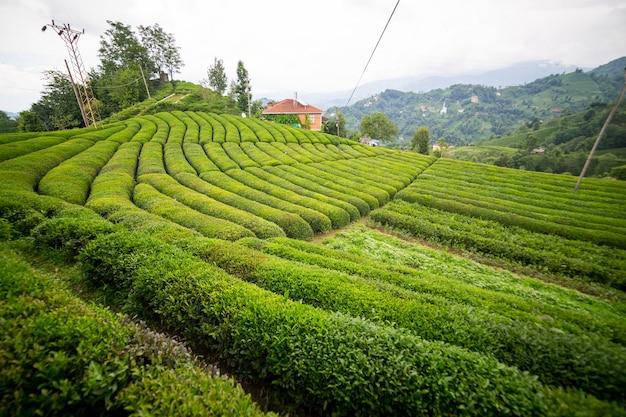 Theeplantagelandschap, rize, turkije