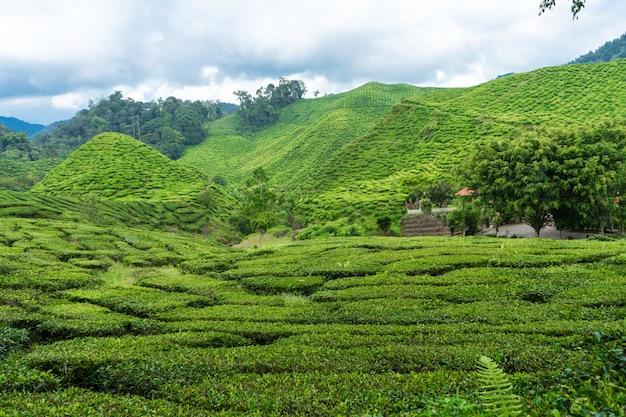 Theeplantages cameron valley. groene heuvels in de hooglanden van maleisië. thee productie. groene struiken van jonge thee.