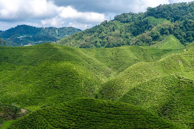 Theeplantages cameron valley. groene heuvels in de hooglanden van maleisië.