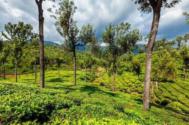 Theeplantages in de bergen