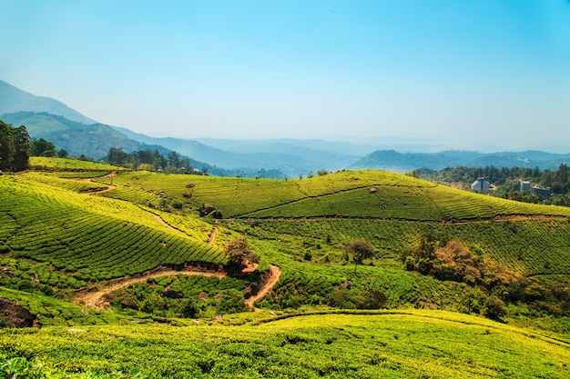 Theeplantages in munnar, kerala, india.