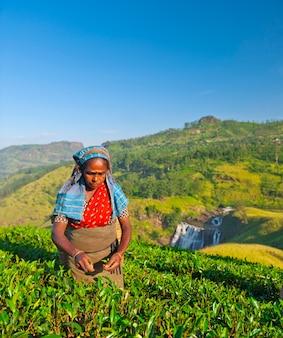 Theeplukker op een plantage in sri lanka