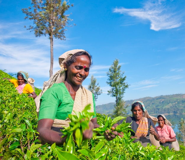 Theeplukkers op een plantage in sri lanka