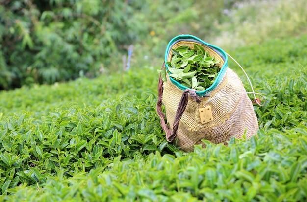 Theestruiken en een traditionele mand gebruikt door theeplukkers op een thee landgoed.