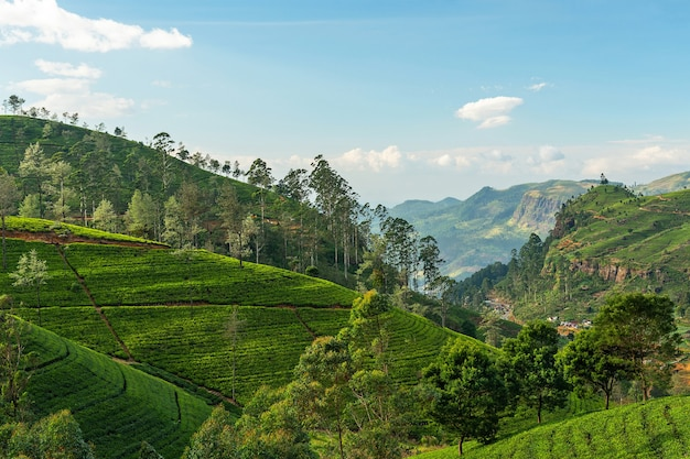 Theevelden, groene bergen van nuwara eliya