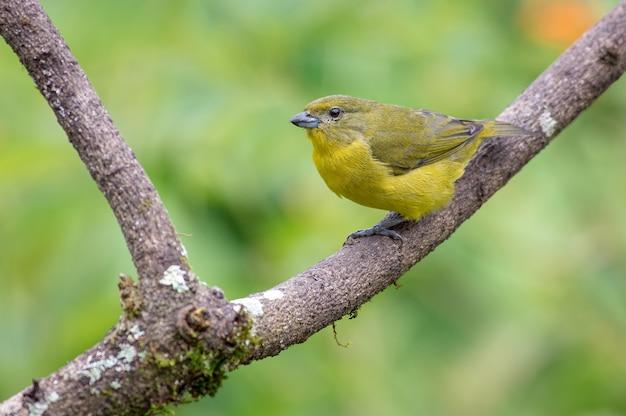 Thickbilled euphonia-vrouwtje zat op een droge boom