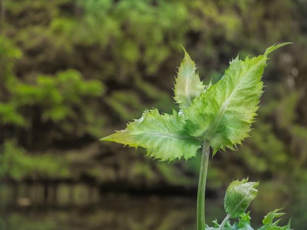 Thistle, cãrsium olerã¡ceum. medicinale planten en kruiden. ongewone bladeren met gekartelde randen