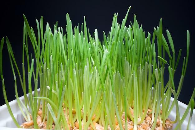 Thuis eetbaar gras kweken in de pot.