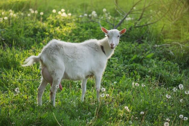 Thuis geit op een boerderij buiten. witte geit die door de werf op een zonnige dag gaat.