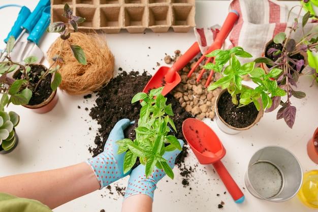 Thuis tuinieren. vrouw handen met spruit tafel
