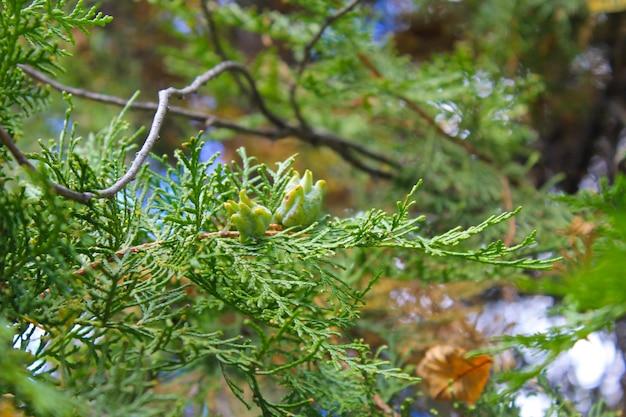 Thuja-boomkegels op de tak