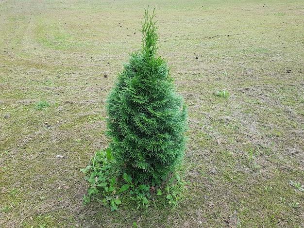 Thuja is een geslacht van naaktzadigen naaldplanten van de cypress familie cupressaceae