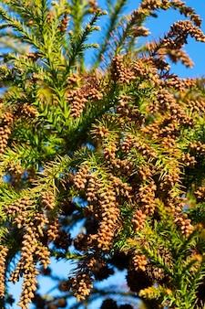 Thuja occidentalis is een groenblijvende naaldboom, in de cipresfamilie cupressaceae. bloesem tegen een blauwe lucht, lente in het bos