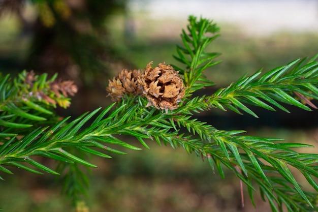 Thuja occidentalis is een groenblijvende naaldboom, in de cipresfamilie cupressaceae.een bult op een tak. blossom.close-up