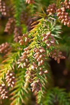 Thuja occidentalis is een groenblijvende naaldboom, in de cipresfamilie cupressaceae.een bult op een tak. blossom.closeup lente in het bos
