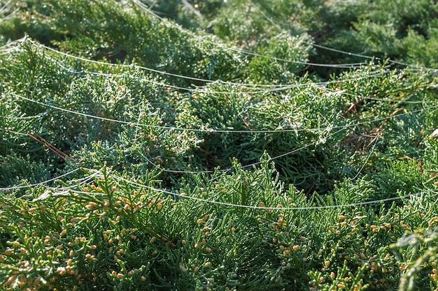 Thuja-takken in dauw schijnen in de stralen van de rijzende zon