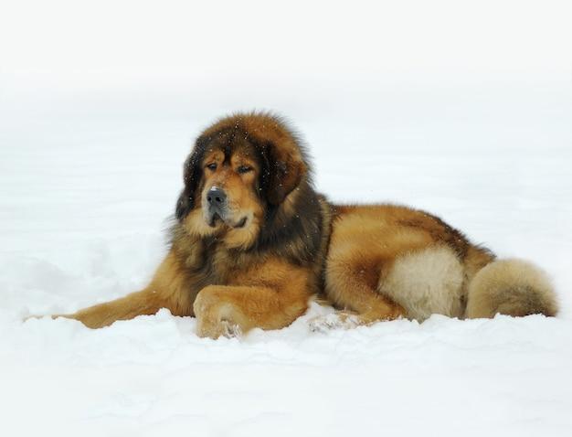 Tibetaanse mastiff die in de sneeuw ligt