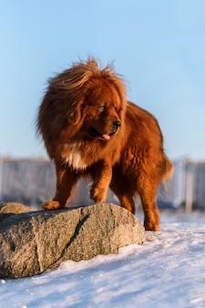 Tibetaanse mastiff in de winter in de sneeuw