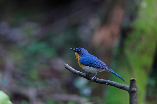 Tickell's blauwe vliegenvanger zit op een tak