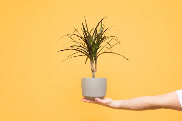 Tiener hand houdt een pot met een plant op geel