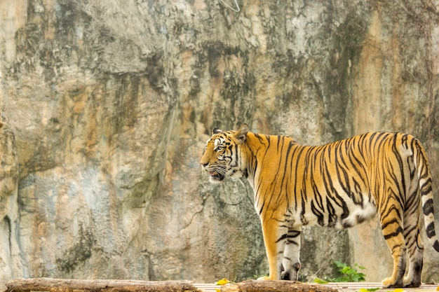 Tiger bengalen jager in de natuur.