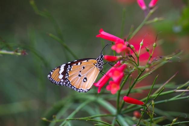 Tiger butterfly op de bloemplanten