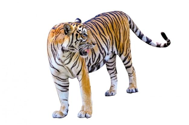 Tiger isolate full body