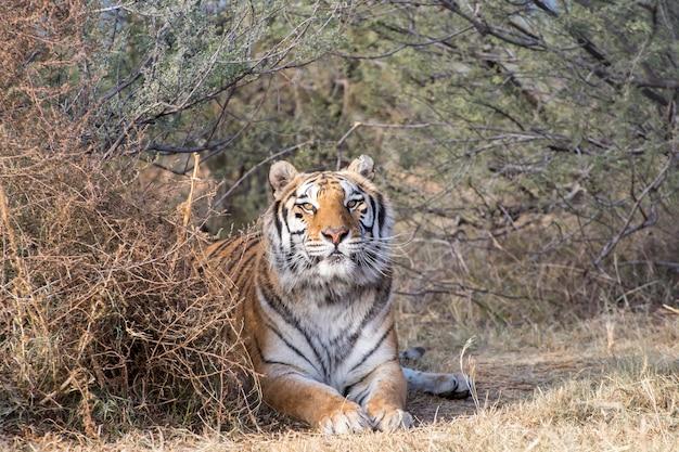 Tiger lying onder een baldakijn