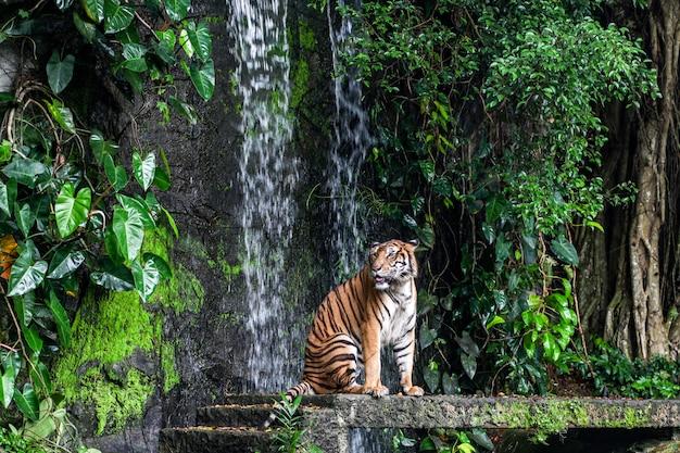 Tiger toont tong lopen voor mini waterval