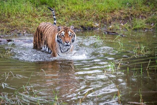 Tiger wading through water with ripples and some reflection