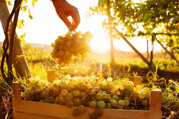 Tijdens de oogst close-up de hand van een boer die een witte druif plukt in de doos, de boer houdt een gra...