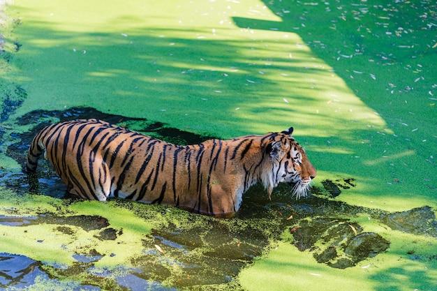 Tijger chillen in het zwembad. tijger in dierentuinpark