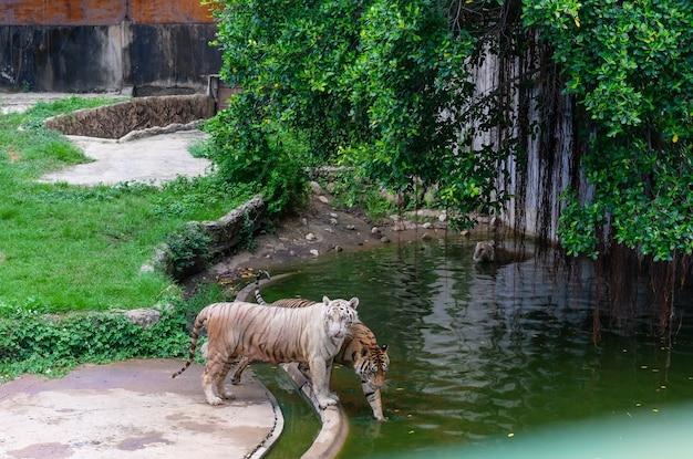 Tijger die in de dierentuin loopt. gevaarlijk dier