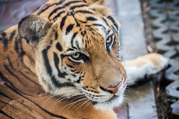 Tijger in phuket-dierentuin in thailand