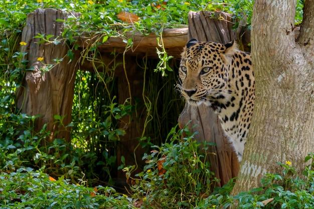Tijger jaguar verbergen.