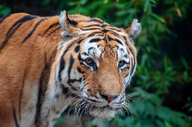 Tijger - panthera tigris - close-up portret. woest uitziende mannelijke siberische of amoer tijger (panthera tigris altaica)